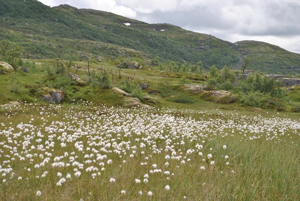Wollgras am Weg zum Valursfossen