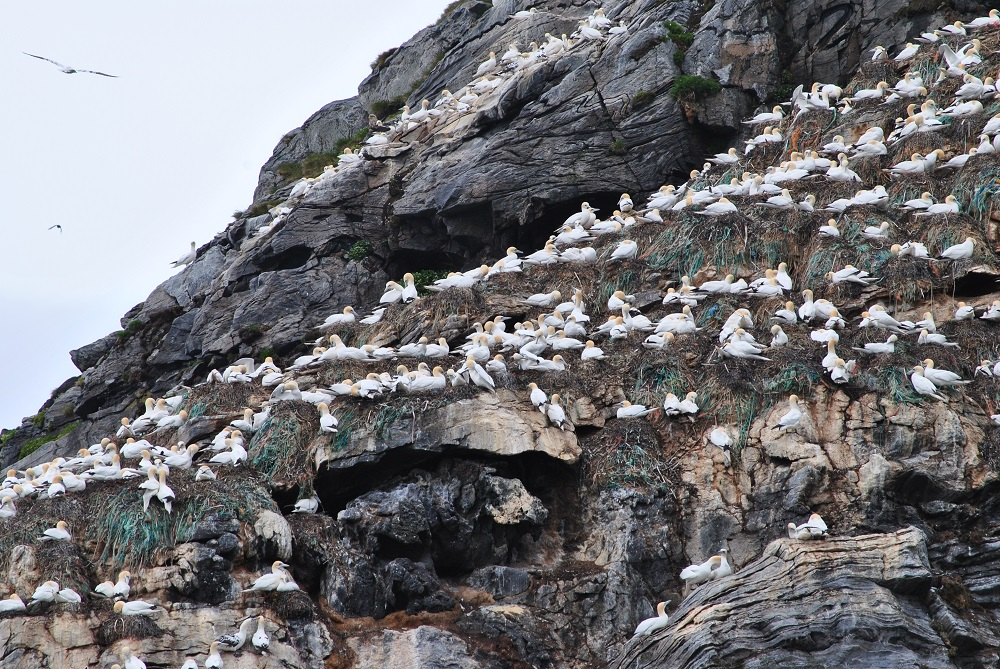 Eine Kolonie Basstölpel